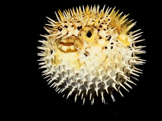 "A round spiky pufferfish. (image courtesy of ""National Geographic"")"