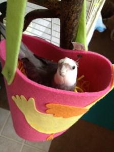 Cockatiel nesting.
