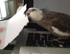 An enterprising cockatiel gets to work shredding things.