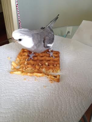 Oh! The large featherless poacher is approaching....I'll just stand on my waffle to establish dominance.