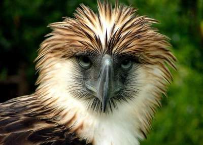The Philippine eagle....looking fine and ferocious.
