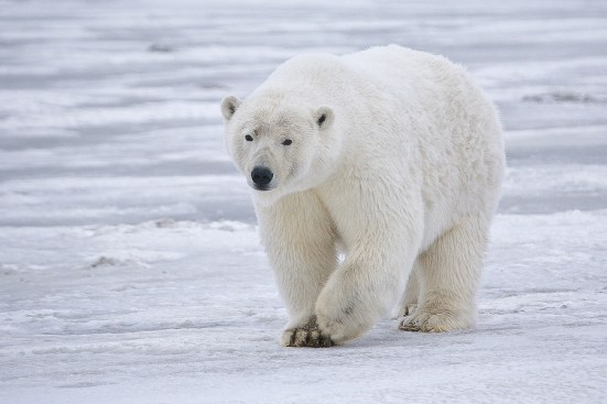 A polar bear on the prowl for scrumptious prey.