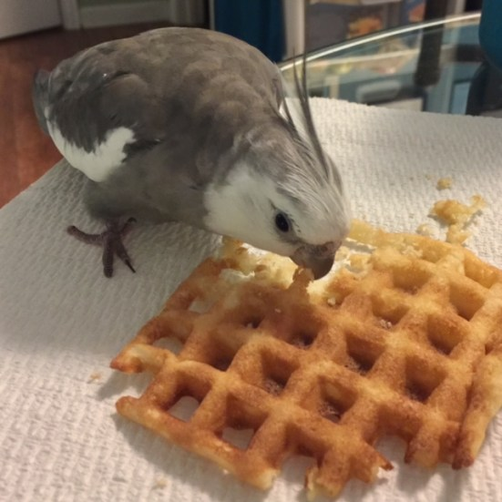 """Pearl demonstrates the proper """"waffle taste test stance"""" he uses for all new waffle recipes."""