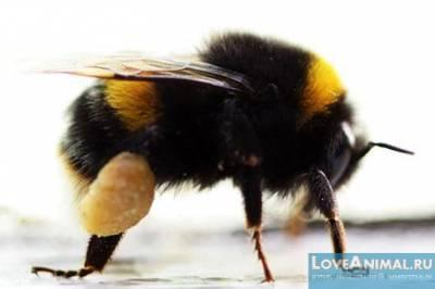Какую пользу приносят пчелы человеку
