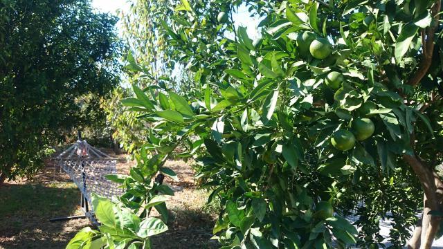 Appelsintræ Antalya