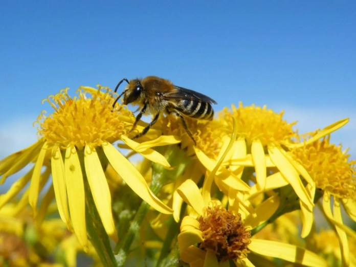 Northern Colletes bee 2