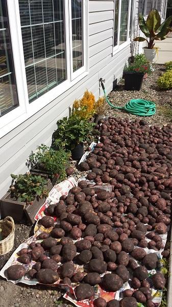 Охота на картошку (3)