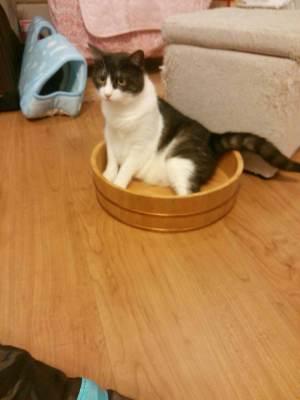 猫が寿司桶に入っています