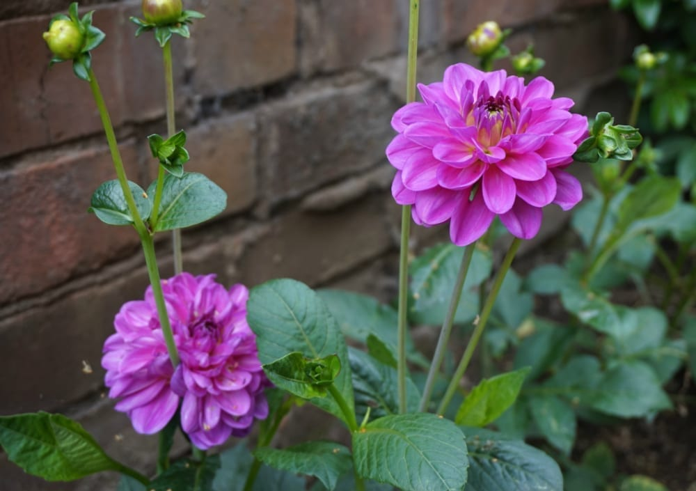 Purple Dahlias