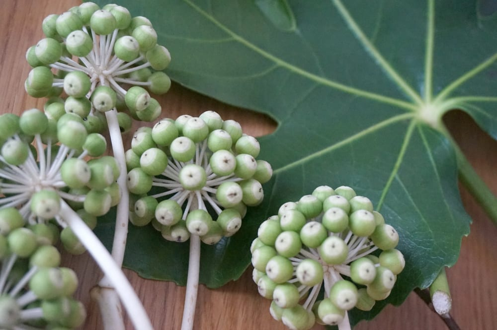 Fatsia cuttings