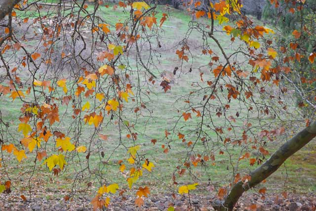 Autumn leaves at Golden Valley Tree Park.