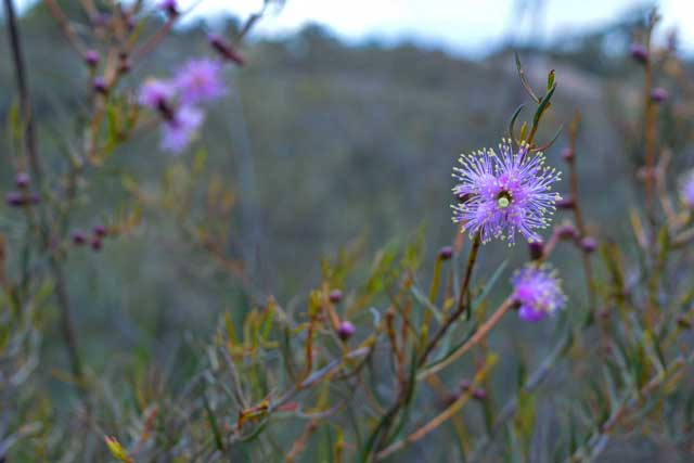 some beautiful wildflowers at Lesmurdie Falls