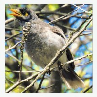 A Minor Noisy Miner rhymer