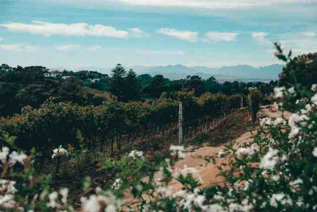Vineyards in Cape Town, one of the top things to do in Cape Town