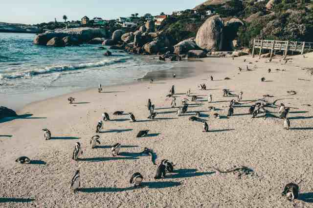 Penguins on the beach at Boulders Beach