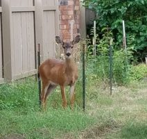 Deer-in-backyard