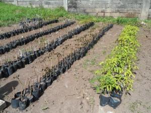 Tree farm (10) mahogany trees