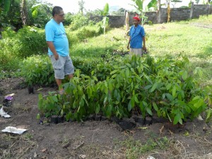 Tree farm (17) coffe trees