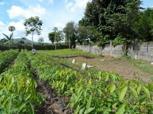 Tree farm (9) rubber trees