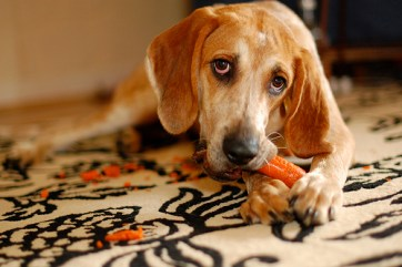 dog eating carrot