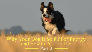 Why Your Dog is So Full of Energy and How to Put it to Use