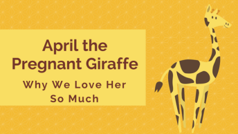 April the Pregnant Giraffe