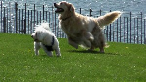 Lawn Care Chemicals Linked to Cancer in Dogs