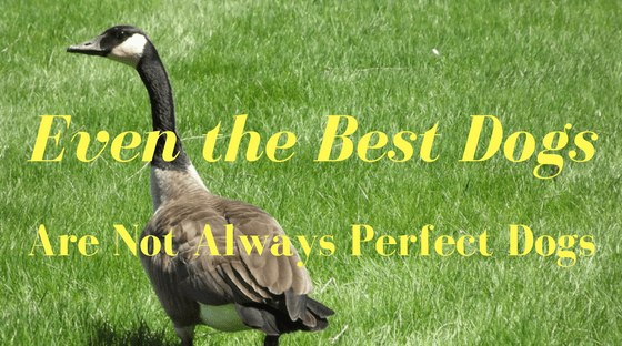 Even the Best Dogs Are Not Always Perfect Dogs