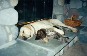 Beau the Labrador Escape Artist