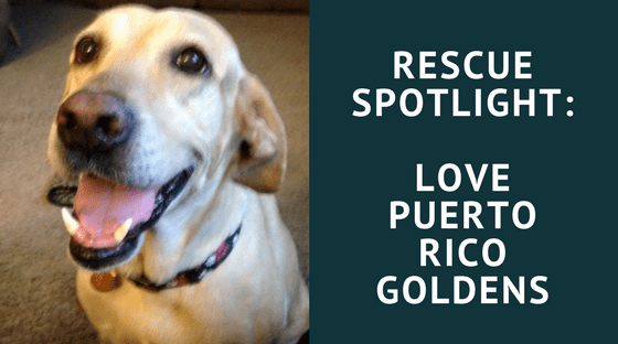 Rescue Spotlight: Love Puerto Rico Goldens