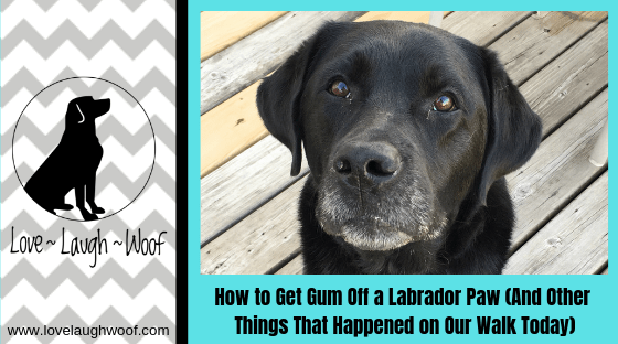 How to Get Gum Off a Labrador Paw (And Other Things That Happened on Our Walk Today)