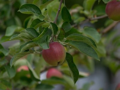 This apple tree is the perfect healthy tree and shrub for your herb or home garden