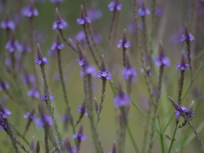 Blue Vervain is the perfect medicinal seed variety for all your herbal remedies, herbal apothecary, and herbal medicine
