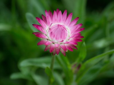 Strawflower is the perfect cut flower seed for all your bouquet needs and cut flower arrangements