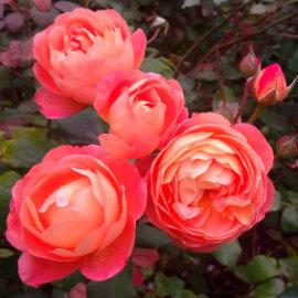 cottage garden roses