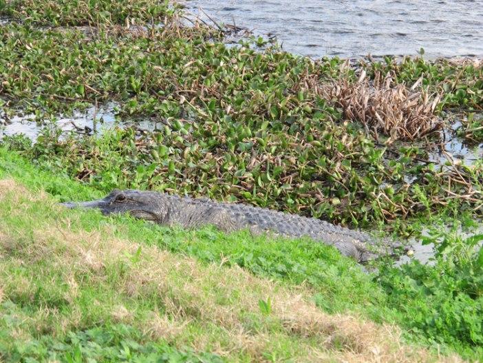 Brazos Bend Alligator