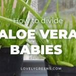 Repotting Aloe Vera Pups Dividing Aloe Vera Babies From The Parent Plant