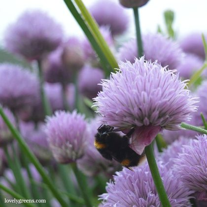 50  Flowers to grow in a Bee Friendly Garden     Lovely Greens 50  Flowers to grow in a Bee Friendly Garden
