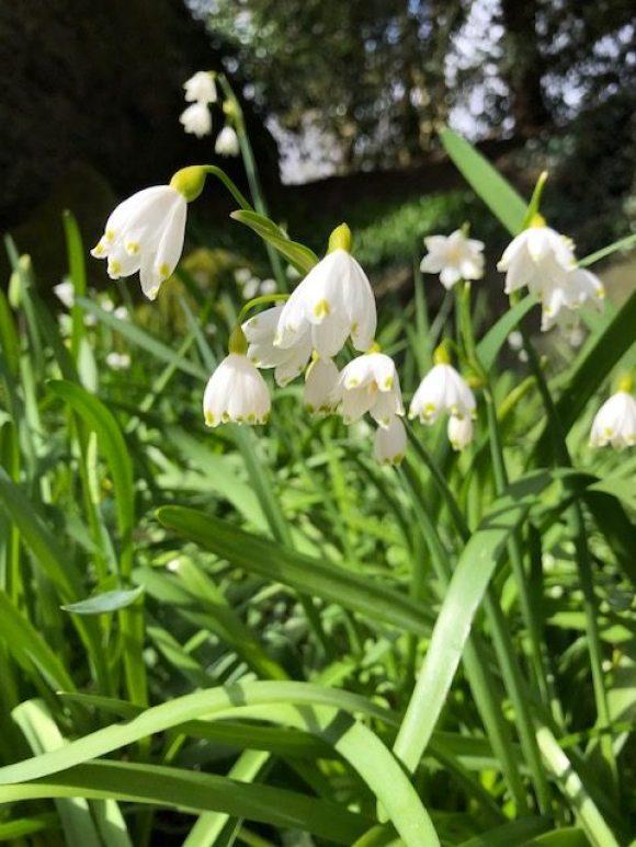 snowdrops at thornbridge hall gardens
