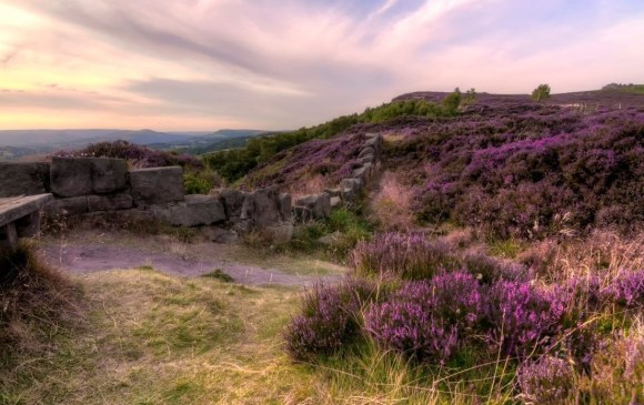 Derbyshire Day - purple heather on the peaks