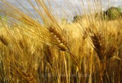 Wheatfield in rural Pennsylvania