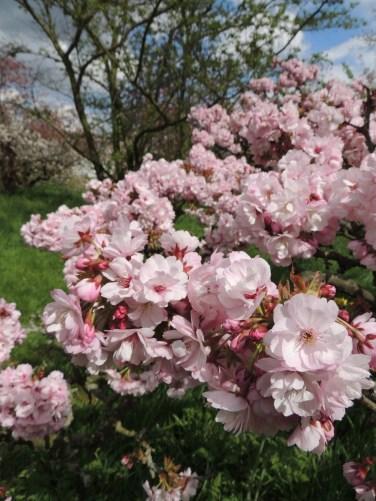 Kirsebærtræ i Kew