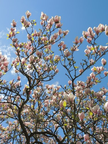 Magnoliatræ i Kew