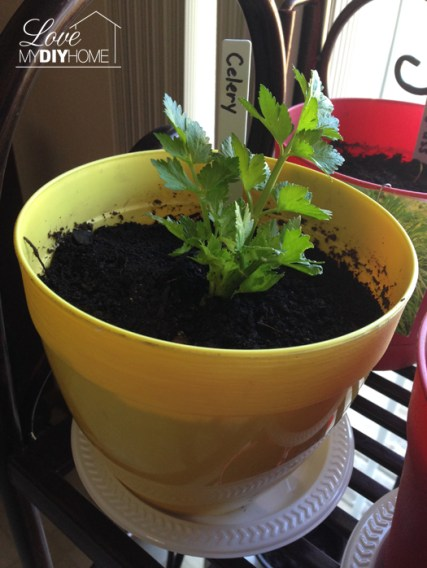 Grow lettuce and celery on your windowsill from table scraps {Love My DIY Home}