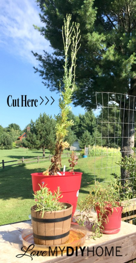 Lettuce Flower Arranging {Love My DIY Home}