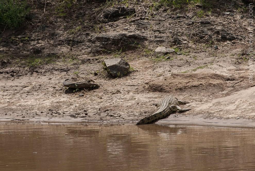 Крокодил загорает