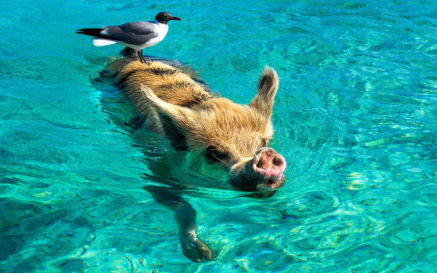 Чайка катается на плавающей свинье на Багамах