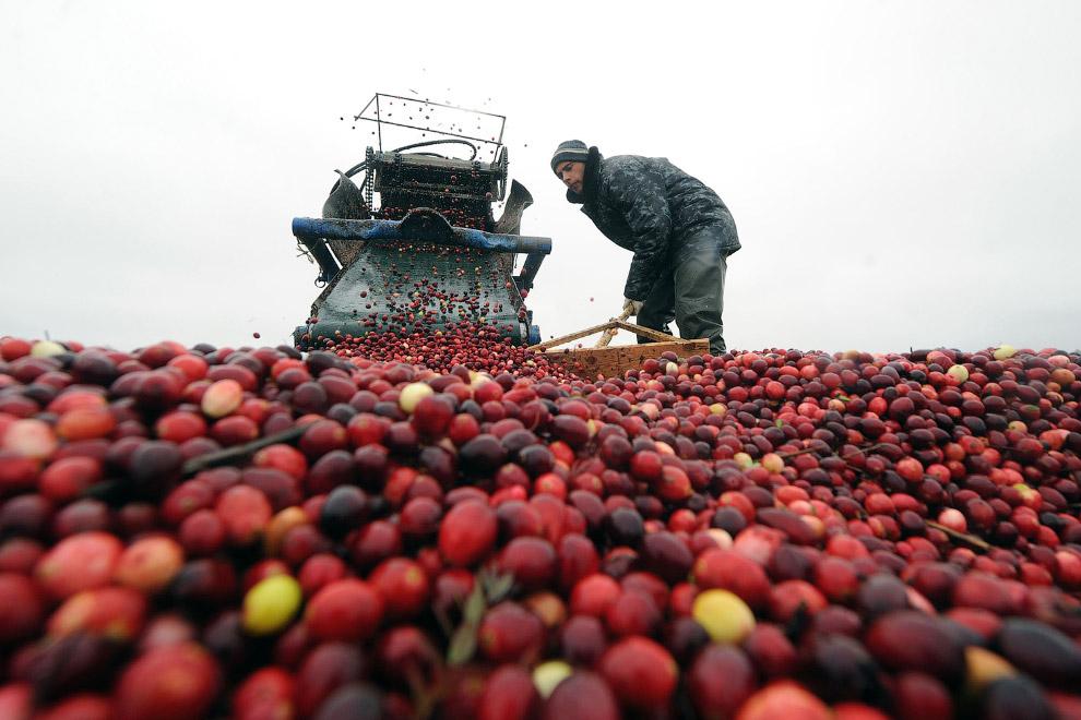 Белорусы тоже собирают урожай клюквы