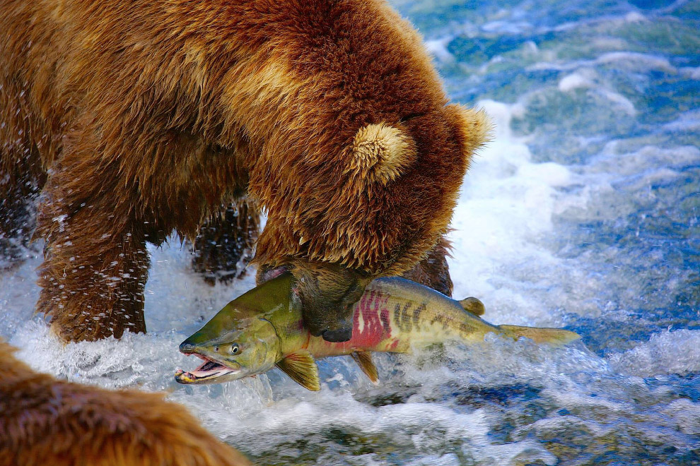 Искусный рыболов, Аляска