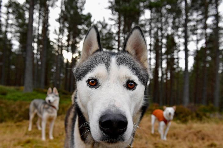 Подготовка к гонке на собачьих упряжках в Шотландии